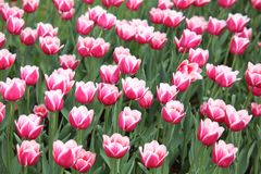 Bed with pink-white tulips Royalty Free Stock Images