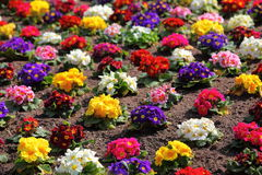 Colorful flowerbed of Primula vulgaris Royalty Free Stock Image