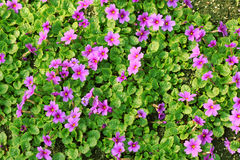 Bed of primroses. Royalty Free Stock Photography