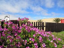 Bed of Purple Flowers growing over fence into desert royalty free stock photo
