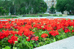 Bed with red flowers in park. Red flowers on a bed in the city Royalty Free Stock Images