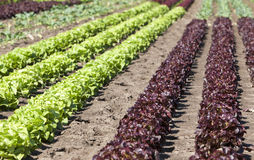Bed of red and green lettuce Stock Image