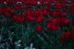 Bed Of Red Tulips stock photography