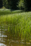 Bed of reeds Royalty Free Stock Photos