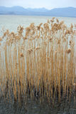 Bed of reeds on a lake Stock Image