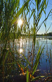 A bed of reeds Royalty Free Stock Images