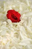 A bed for a rose Royalty Free Stock Photography