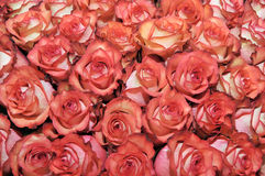 Bed of roses. Large number of red roses Stock Image