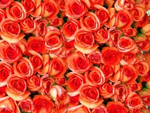 Bed of roses. Bed of orange roses stock photography