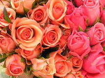 Bed of roses. Photograph of a display with pink and coral red roses Stock Photo