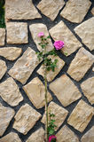 Bed of roses. A rose growing near a wall Stock Photos