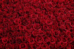 Bed of roses. A bed of red roses