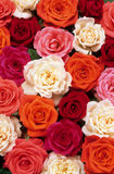 Bed of roses Royalty Free Stock Image