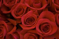 Bed of roses background. Red roses in a bouquet selective focus on lower left blossoms royalty free stock photos