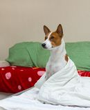 Bed scene with dog model Royalty Free Stock Photography