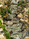 A Bed of Sea Anemones Royalty Free Stock Photos