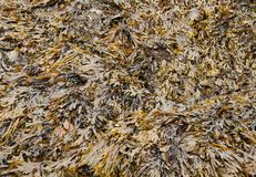 Bed of Seaweed. Royalty Free Stock Photos