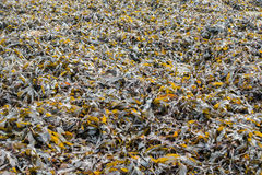 Bed of Seaweed on a Slipway in the UK Stock Photography