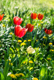 The bed with soft yellow and pink tulips. Stock Photography