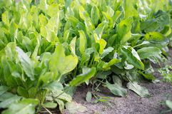 Bed of sorrel. Close-up bed of fresh green sorrel Royalty Free Stock Photo