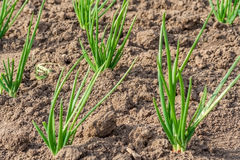 Bed with spring onions. Spring bed with  spring onions Stock Photos