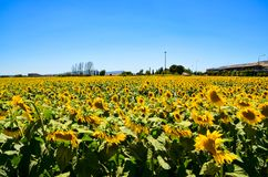 Bed of Sunflowers Royalty Free Stock Photo