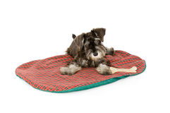 Bed Time!. Cute puppy on its mat in a studio royalty free stock photos