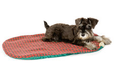 Bed Time!. Cute puppy on its mat in a studio royalty free stock photography