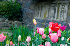 Bed of tulips. Of many colors taken at a low angle Stock Image