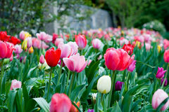 Bed of tulips. Of many colors taken at a low angle Royalty Free Stock Photos