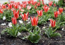 Bed of tulips. Shallow depth of field stock image