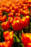 Bed of tulips Royalty Free Stock Photo