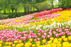 Bed of tulips in a garden Royalty Free Stock Photo