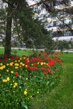Bed of tulips, lawn and pine trees in a residential area Royalty Free Stock Photos