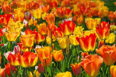 Bed of tulips in red and yellow Royalty Free Stock Photography