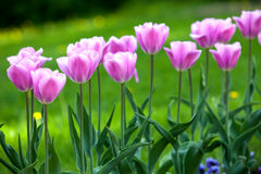 Bed with tulips, Royalty Free Stock Photo