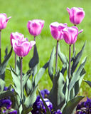Bed with tulips, small depth of sharpness Royalty Free Stock Photography
