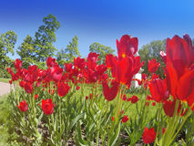 Bed with tulips Royalty Free Stock Images