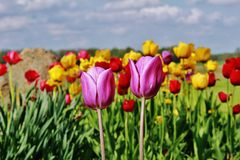A bed of tulips in the sunshine Royalty Free Stock Images