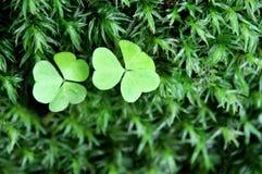 bed våt moss tre för makroen för växt av släkten Trifoliumhorizleafen Royaltyfri Foto
