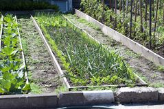 Bed van groene uien De installaties van de de lentetuin - knoflook, ui Cultuur van uien in tuin in het dorp in land royalty-vrije stock fotografie