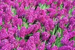 Bed van Hyacinten Royalty-vrije Stock Afbeeldingen