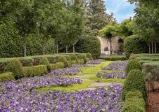 Bed van purpere petunia en hagen, Dallas Arboretum en Botanische Tuin royalty-vrije stock afbeeldingen