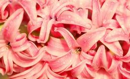 Bed van roze hyacintbloem Royalty-vrije Stock Afbeeldingen