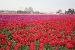 Bed van tulpen Stock Foto's