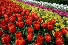 Bed van Tulpen Stock Afbeeldingen