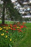 Bed van tulpen, gazon en pijnboombomen in een woonwijk Royalty-vrije Stock Foto's
