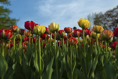 Bed of variagated tulips Royalty Free Stock Photography