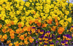 Bed with Viola tricolor Royalty Free Stock Photo