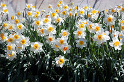 Bed of white daffodils. In bright sunlight Royalty Free Stock Photos